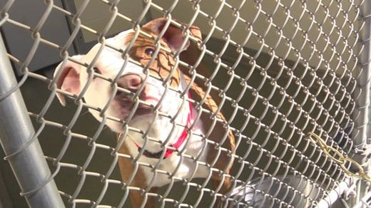 Dog at the Charlottesville Albemarle SPCA (file photo)