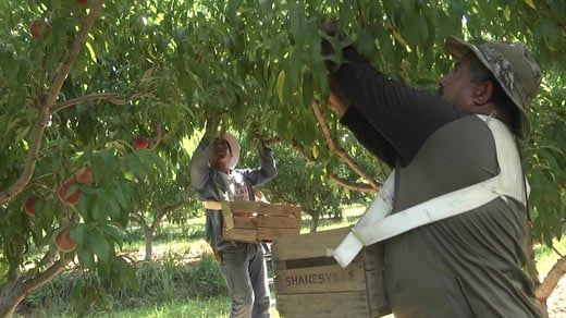 Peaches being harvested at Saunders Brothers' orchard