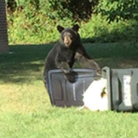 Bear spotted in Albemarle County