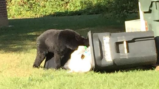 Bear eating trash in Albemarle County