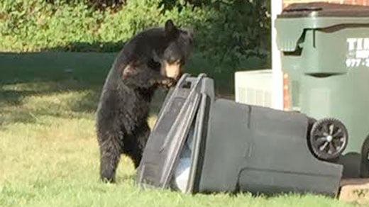 Cute bear in Albemarle County