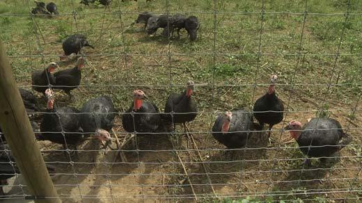 Kellys Turkeys USA in Crozet