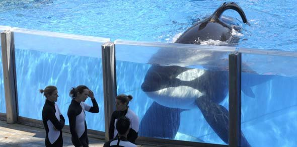 Tilikum courtesy of the Associated Press