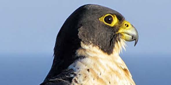 Peregrine Falcon in Australia courtesy of Wikipedia