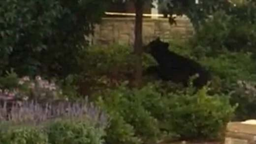 Black bear spotted near the University of Virginia Wednesday (photo from Laura Dunphy)
