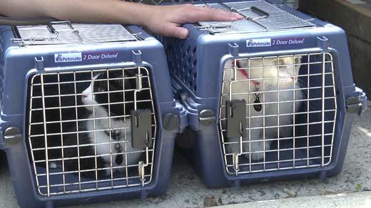 Cats at Charlottesville-Albemarle SPCA's clinic Sunday