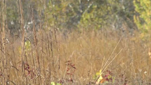 Appalachian tallgrasses