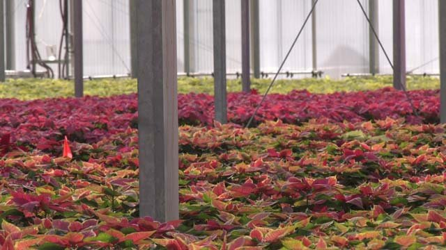 American Color provides 1.3 million poinsettias each year