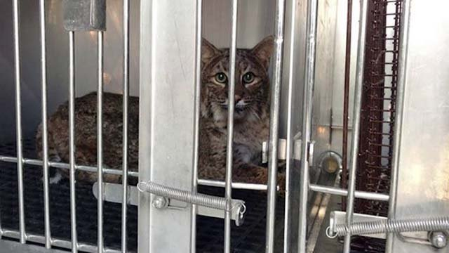 The bobcat at the Wildlife Center of Virginia