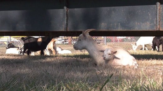 Goats connected to an animal rescue in Louisa County [FILE IMAGE]
