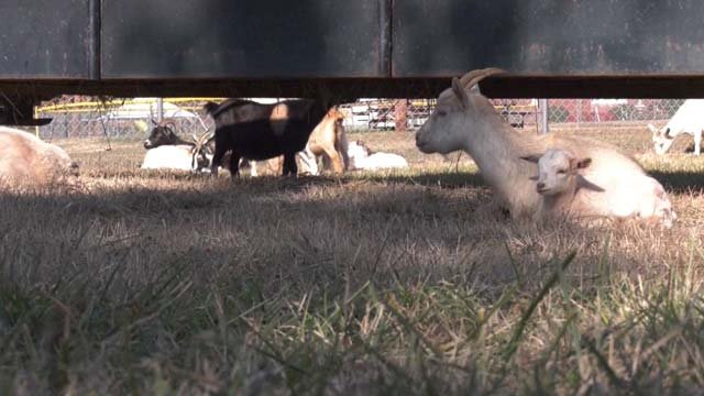 Authorities responded to a call of goats wandering the area