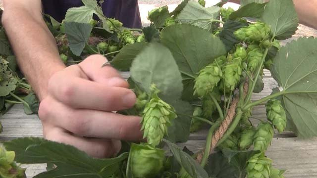 Greenmont Hopworks will provide local hops for breweries