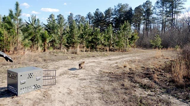 Bobcat #17-2688 being released