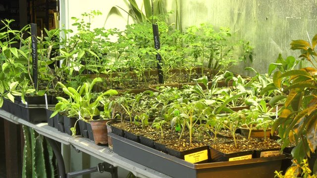 Growing plants indoors can help give them time to mature