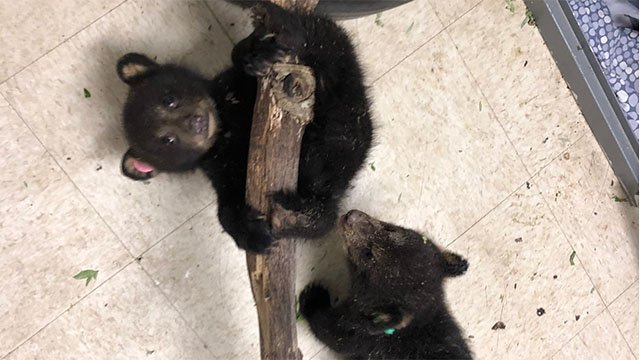 Bear Cubs at Wildlife Center of Virginia