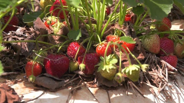 Liberty Mills Farm says this year's harvest is a good one