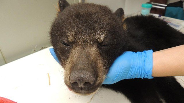 Bear Cub #18-1316 being treated at the Wildlife Center of Virginia (Photo courtesy wildlifecenter.org)