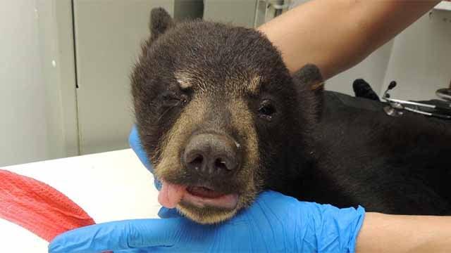 Bear Cub #18-1315 receiving treatment at The Wildlife Center of Virginia. (Photos courtesy wildlifecenter.org)
