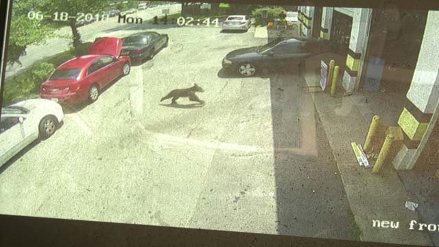 A bear was spotted at Meineke Car Care Center