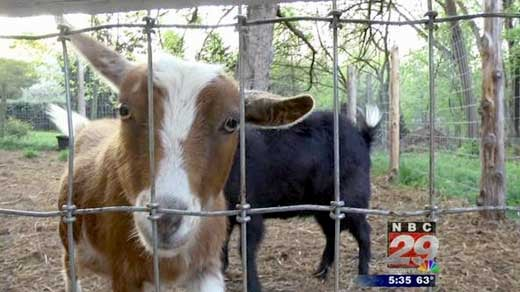 More Backyard Goats In Charlottesville