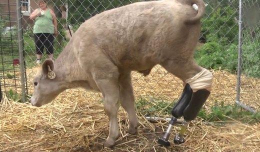 Hero the calf