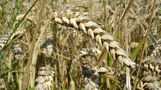 Wheat, photo courtesy of wikipedia.org