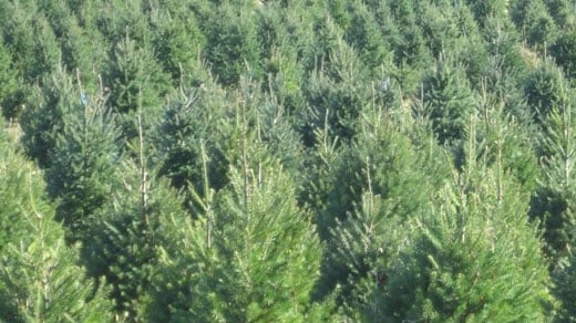 Christmas trees at Claybrooke Farm