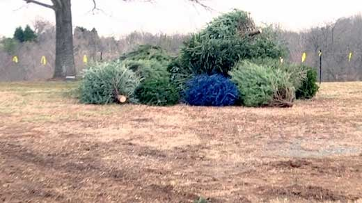 Christmas trees to be mulched