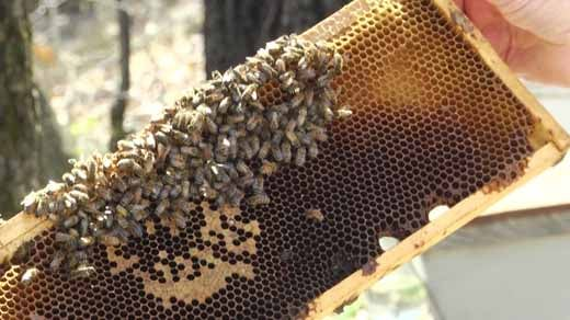 Honey Bees in Orange County