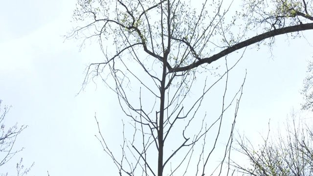 Sycamore tree planted