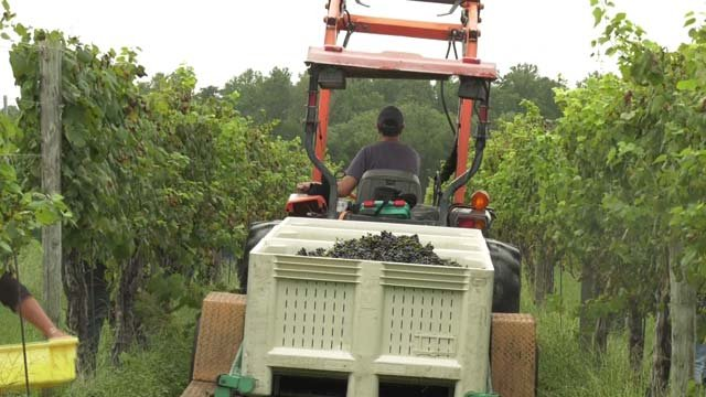 Keswick Vineyards is working to harvest grapes before the storm