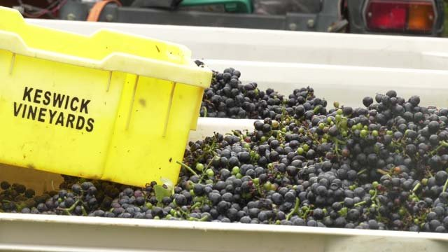 Some varieties of grapes will remain on the vine