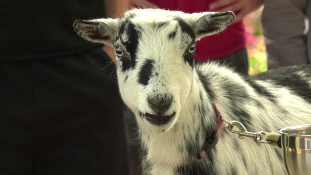 Casa Alma brought in Alice the goat