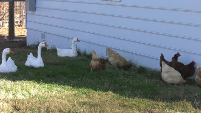 The farm is home to hens, geese, and rescued animals