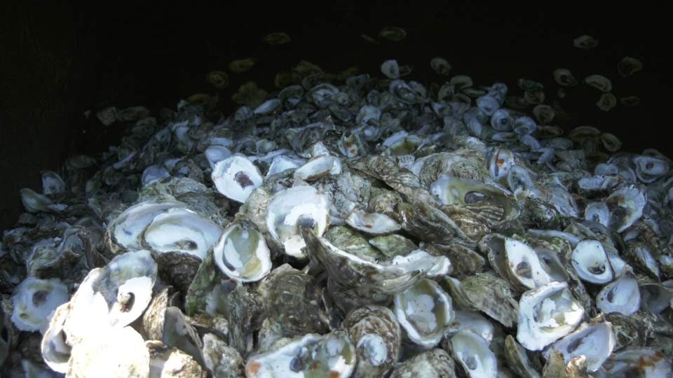 Oyster Shell Collection Program Comes to Charlottesville
